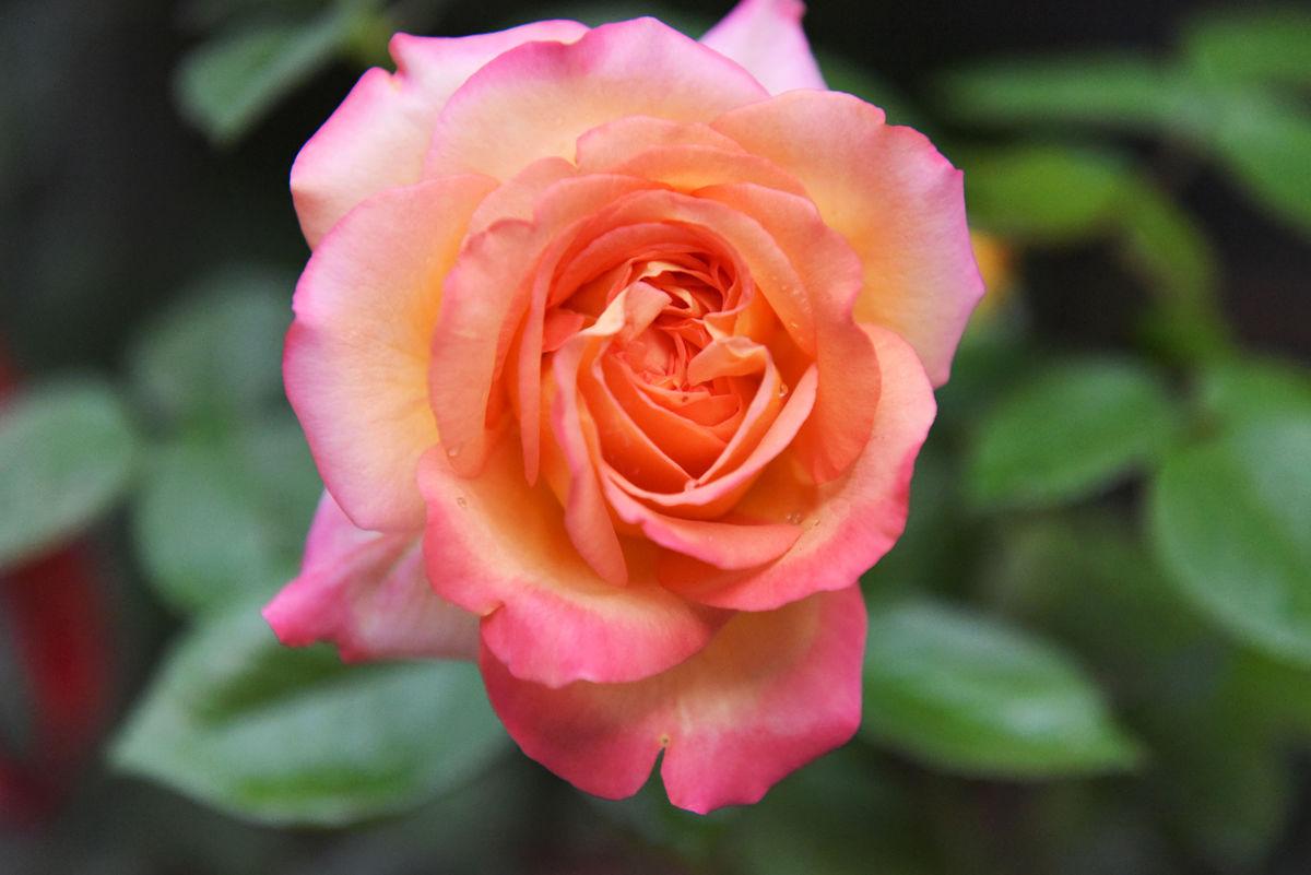 花卉,高清,摄影,花草,花朵,鲜花,玫瑰花,花素材,情人节,爱情寓意图片