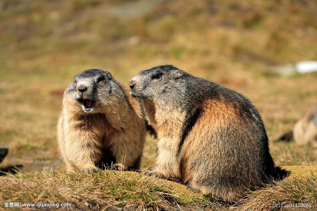 土拨鼠表情包gif-在线图片欣赏图片