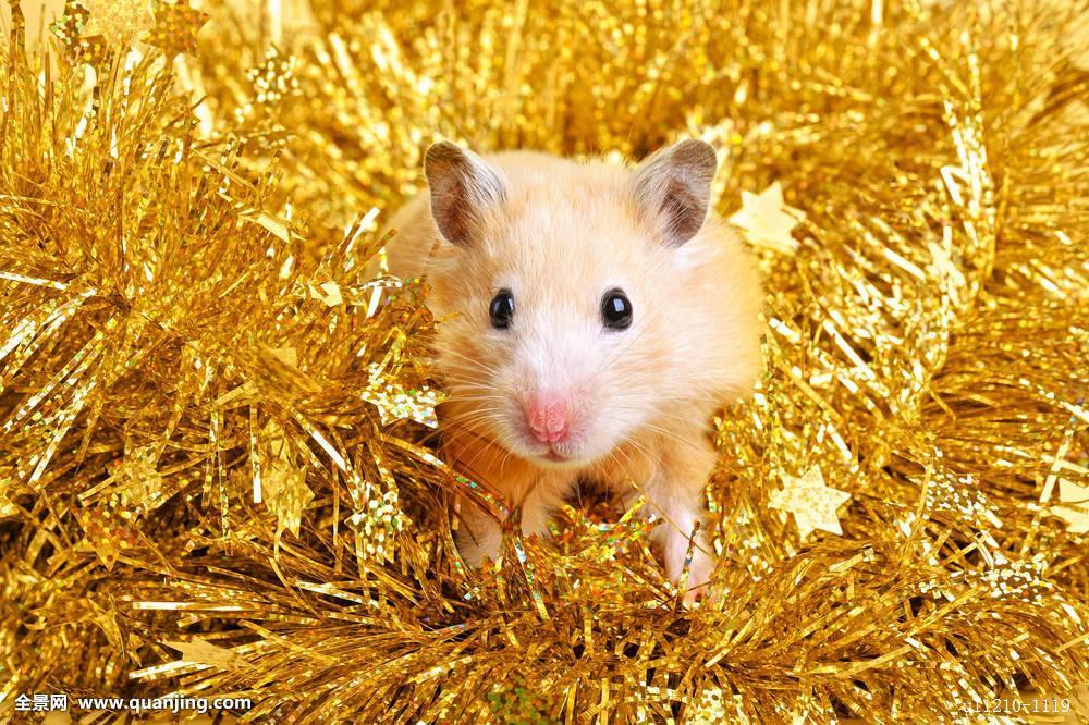 仓鼠窝_窝,动物,特写,好奇,可爱,驯服,有趣,毛皮,仓鼠,滑稽,小,哺乳动物