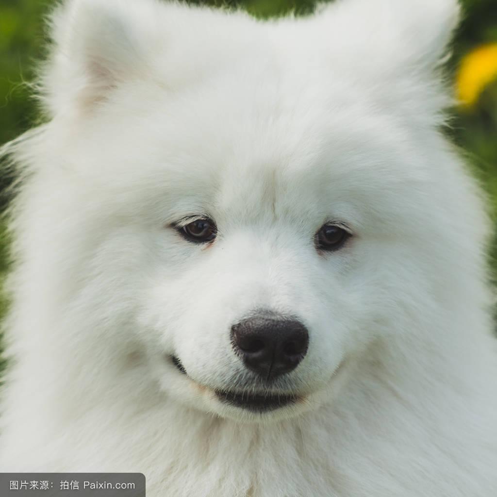 萨莫耶_漂亮萨摩耶幼犬特写肖像