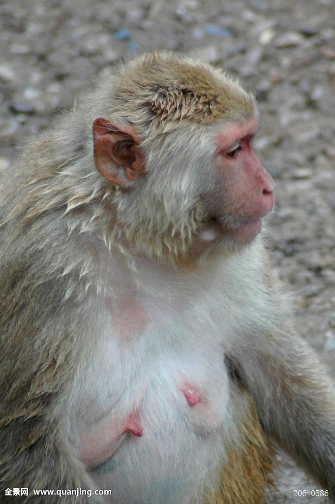中国猴子种类_动物,猴子,一只,侧面,特写,中国摄影师