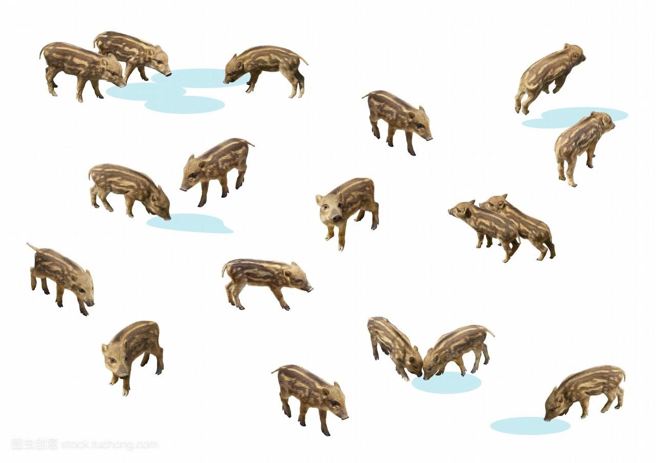 图形,彩色图片,无人,水,饮料,插画,猪,野猪,横图,数码合成,大群动物图片