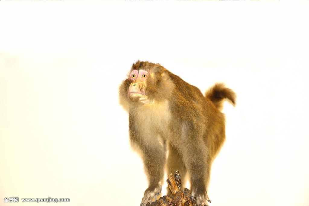 中国猴子种类_猴子动物标本