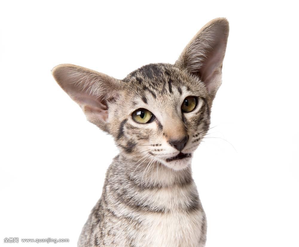 小,白色,好奇,可爱,表情,小猫,坐,毛皮,工作室,玩,猫科动物,吃惊,灰色图片