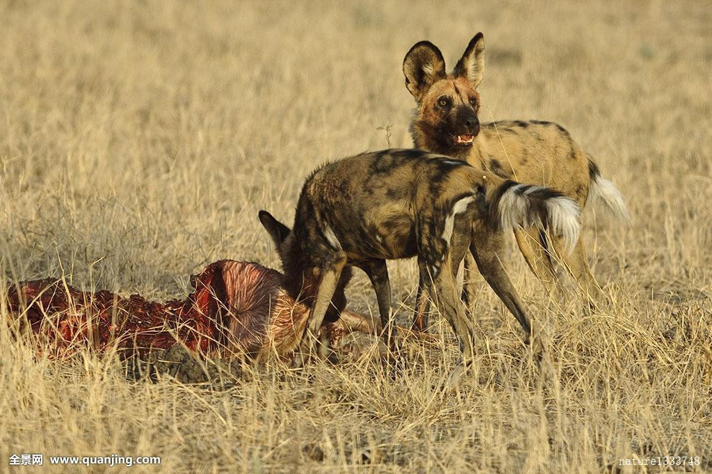 非洲野狗,非洲野犬属,畜体,一个,进食,暸望,奥卡万戈三角洲,博茨瓦纳图片