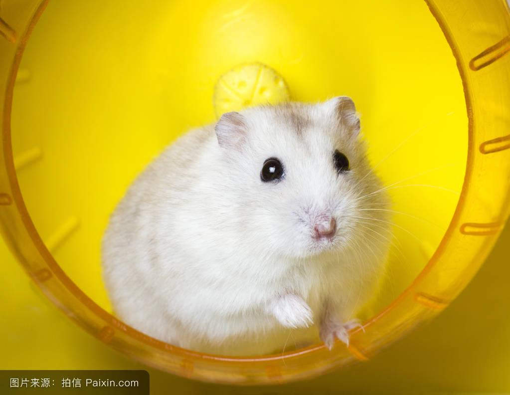 仓鼠,可爱的,蜗牛,啮齿类动物,积极的,美丽的,准噶尔,运动,白色,娱乐夫妇和螺有什么区别图片