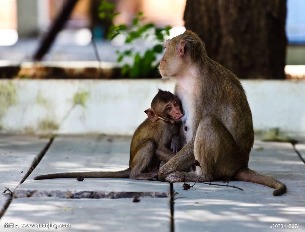 喂奶固n�_猴子,哺育,幼仔