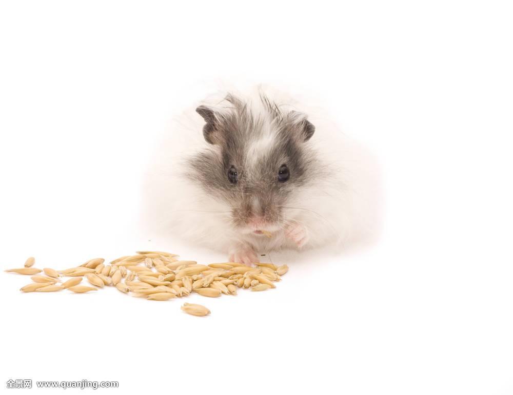 仓鼠,吃,燕麦,谷物