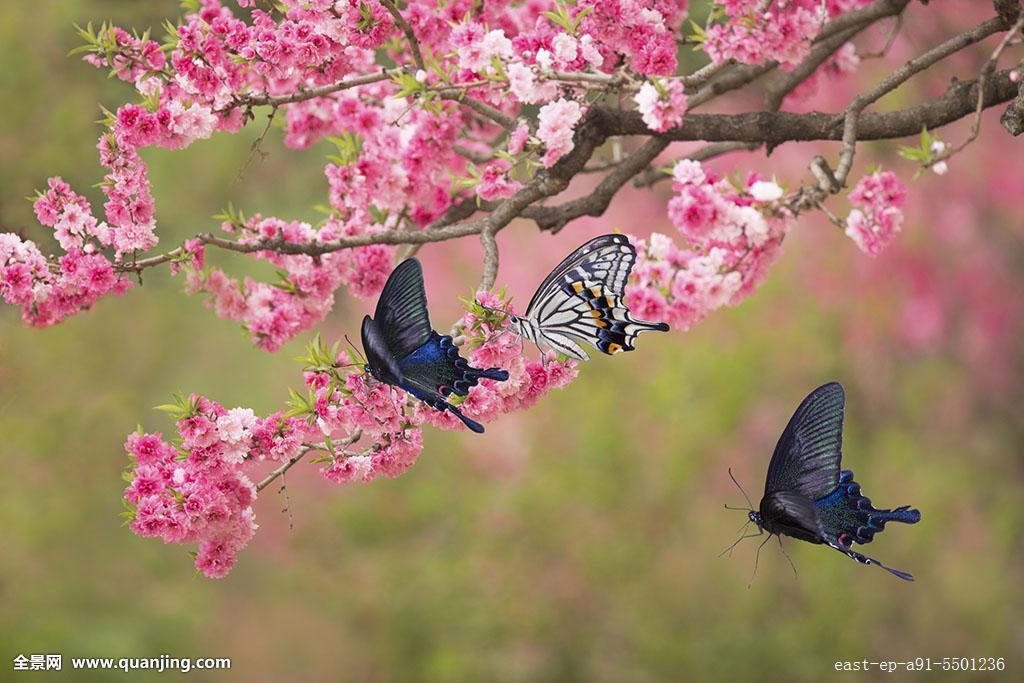 水平构图,中国,黑色,昆虫,梁祝,蝶恋花,美丽,风景,植物,凤尾蝶,飞舞图片