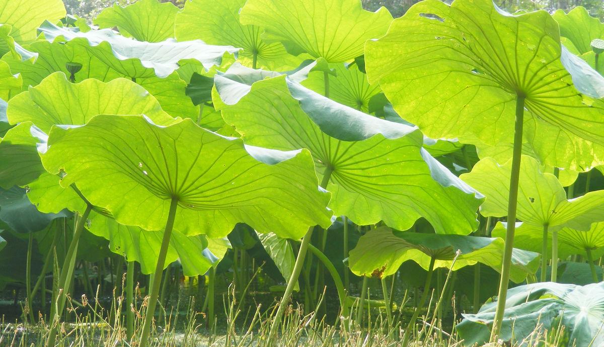 圆圆的绿绿的荷叶是小青蛙的歌台,小鱼儿的凉伞,还会是谁的什么 -