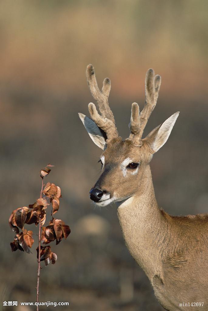 公�:(j9ol9i)�/&_潘帕斯草原,鹿,公鹿,再生,烧,栖息地,国家公园,巴西