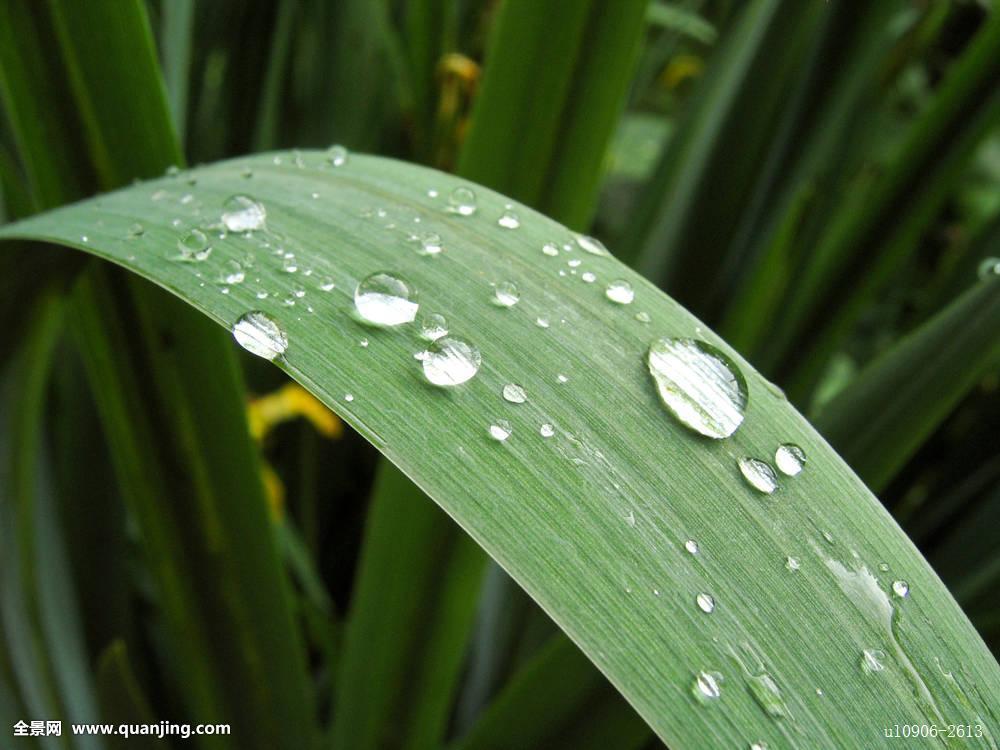 小水滴,鸢尾,叶片图片