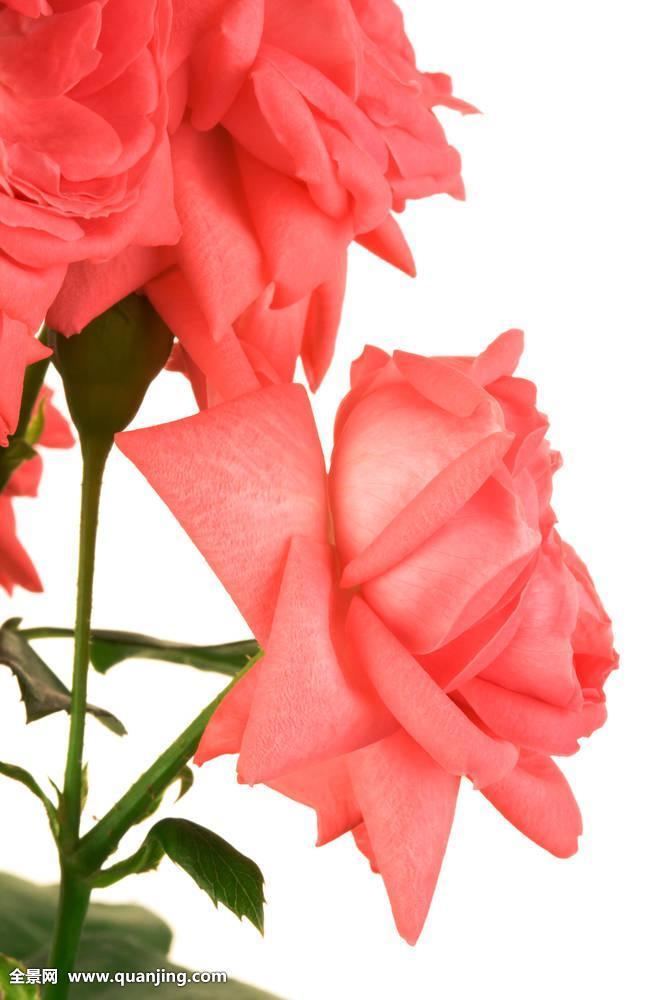 深宫风云之玫瑰_清新,深红色,玫瑰