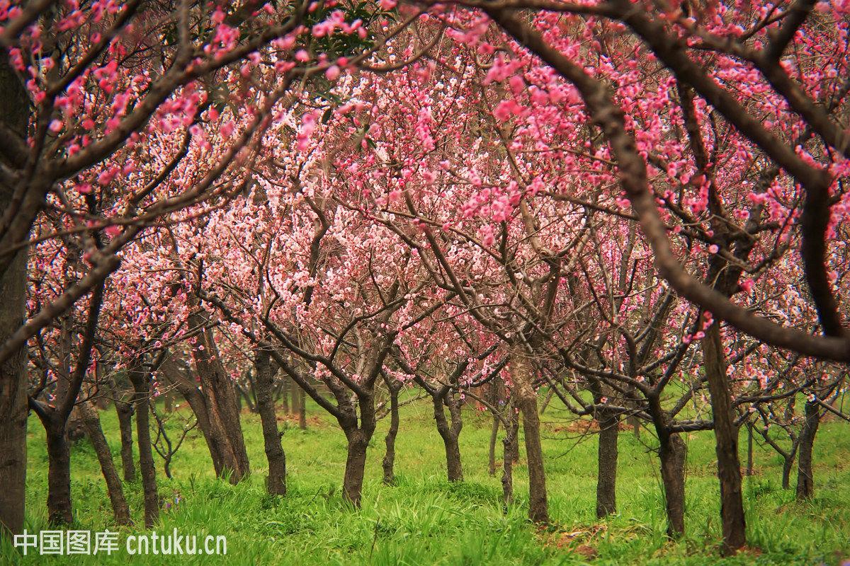 南京梅花山的梅花树林