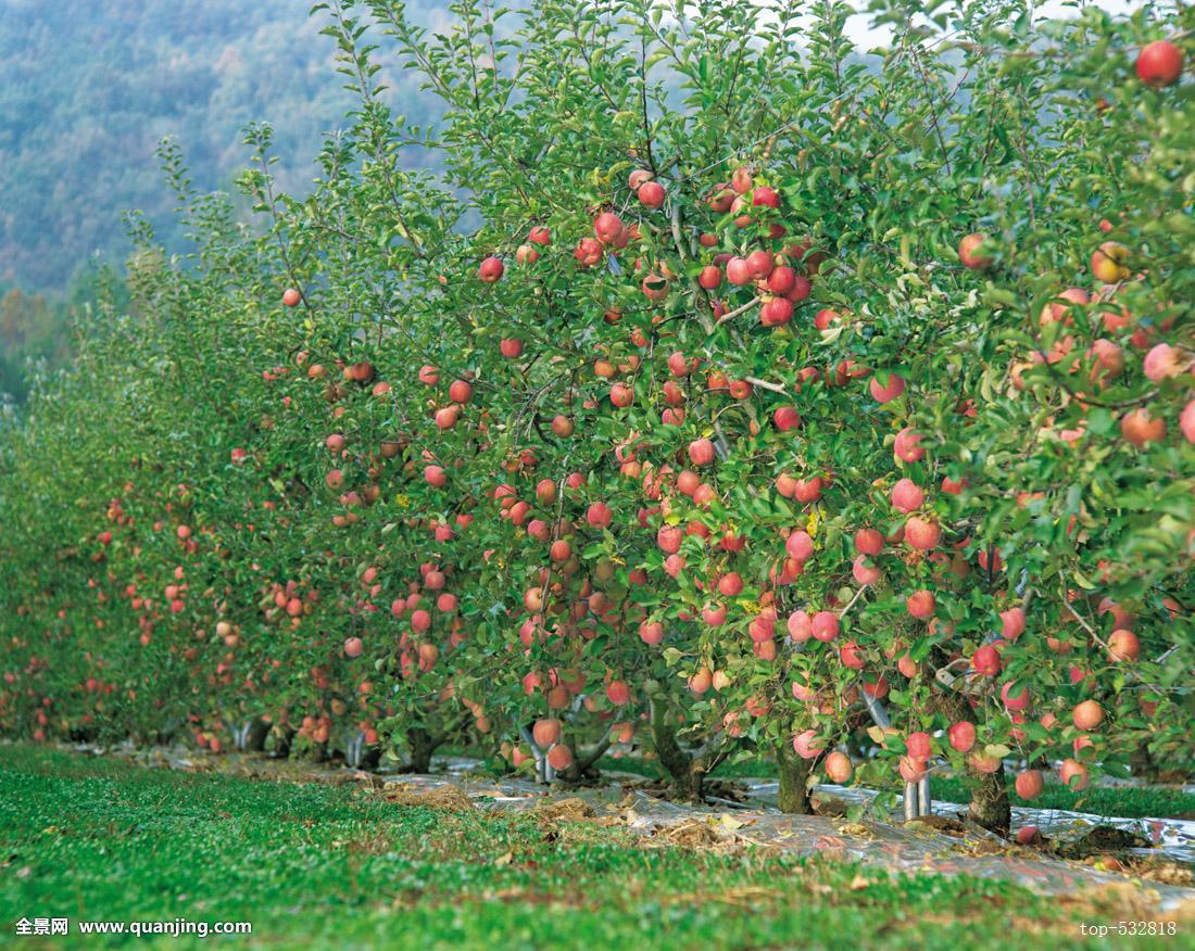 秋天,果园,水果,树,农业,培育,苹果,奶奶,植物,户外,外部,景色,风景图片