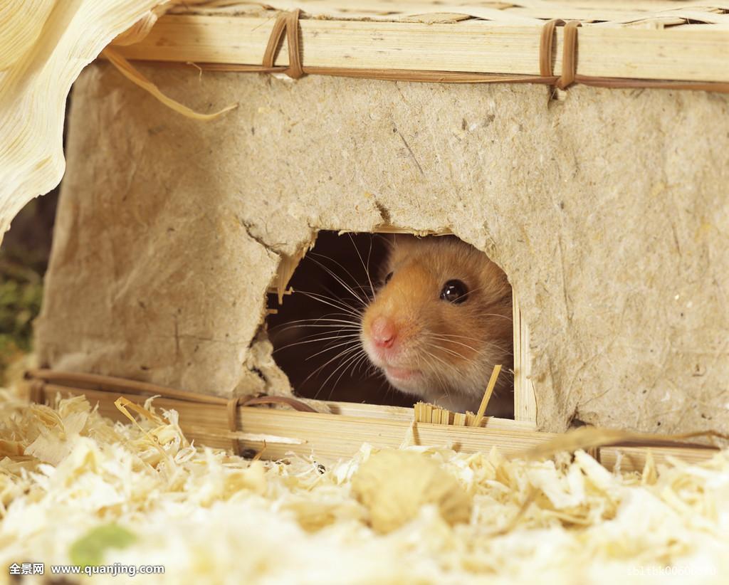 仓鼠窝_动物,金黄色,洞穴,碎屑,窝,驯服,金色,仓鼠,隐藏,躲藏,房子,室内