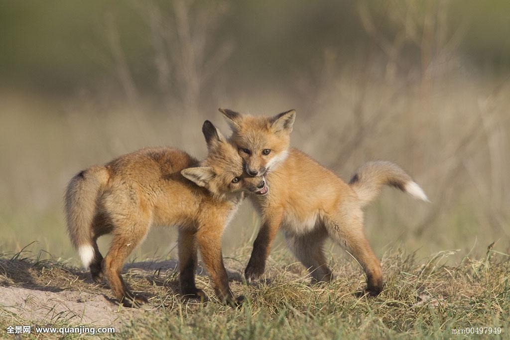 搜神记之斑狐_红狐,狐属,玩,蒙大拿