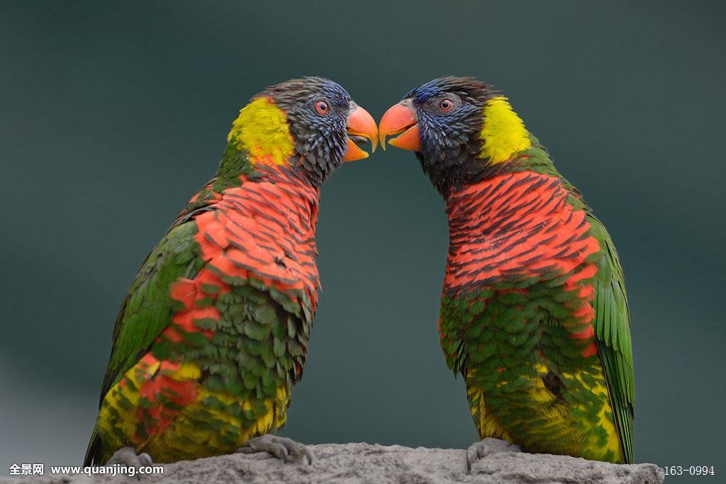 吸蜜鹦鹉公母怎么区分图解图片