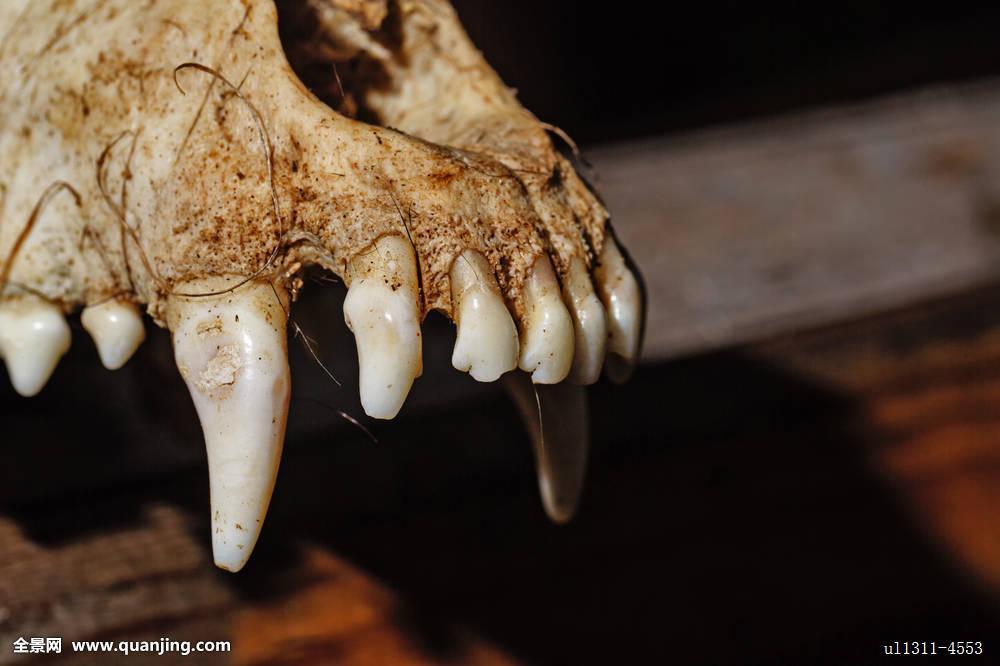 兽猎犬尖牙犬科动物彩色可怕犬属身体恐怖环境破旧眼微笑