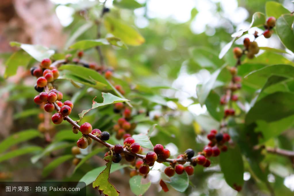 红豆树_红豆树.