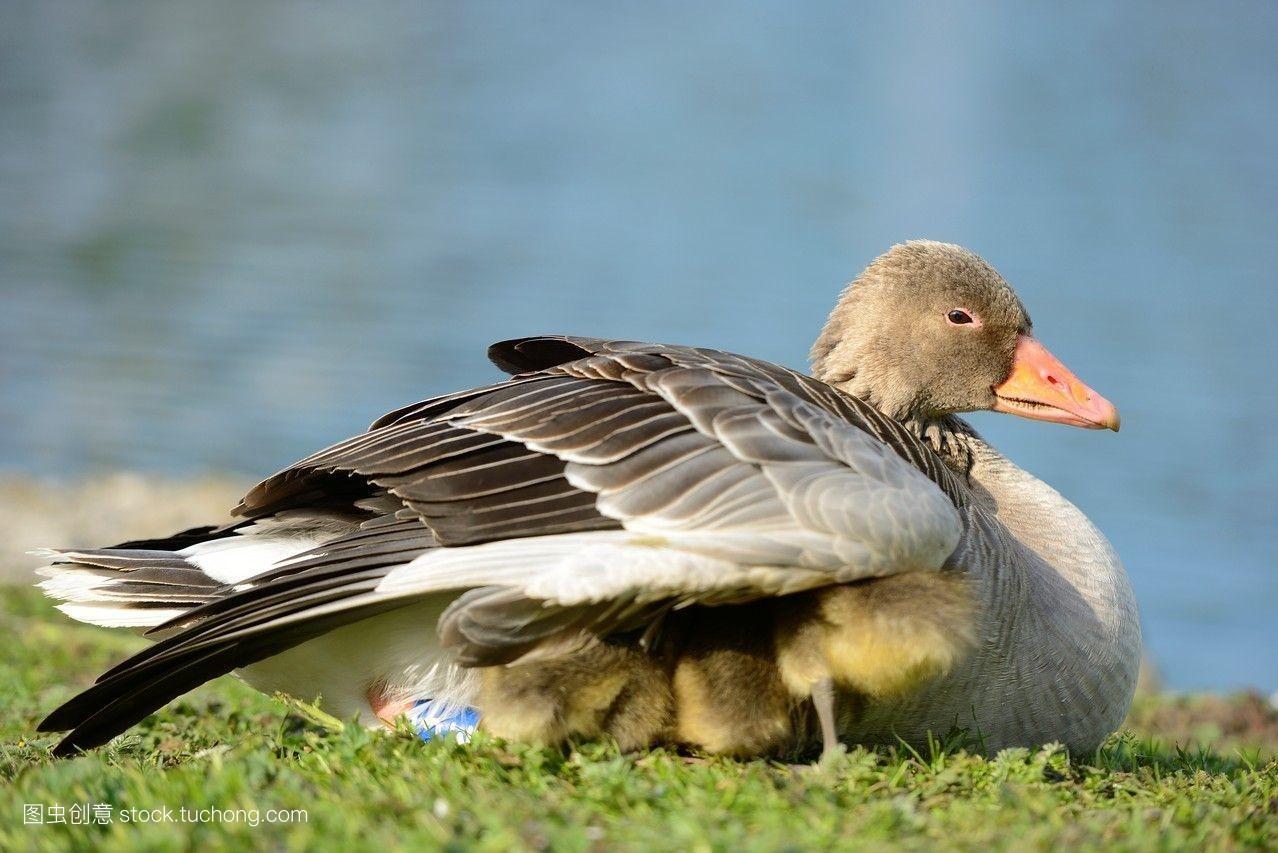 鹅��嫹�9��y�'�f�x�_巴伐利亚,欧洲,特写,鸡,母亲,鹅,德国,春天