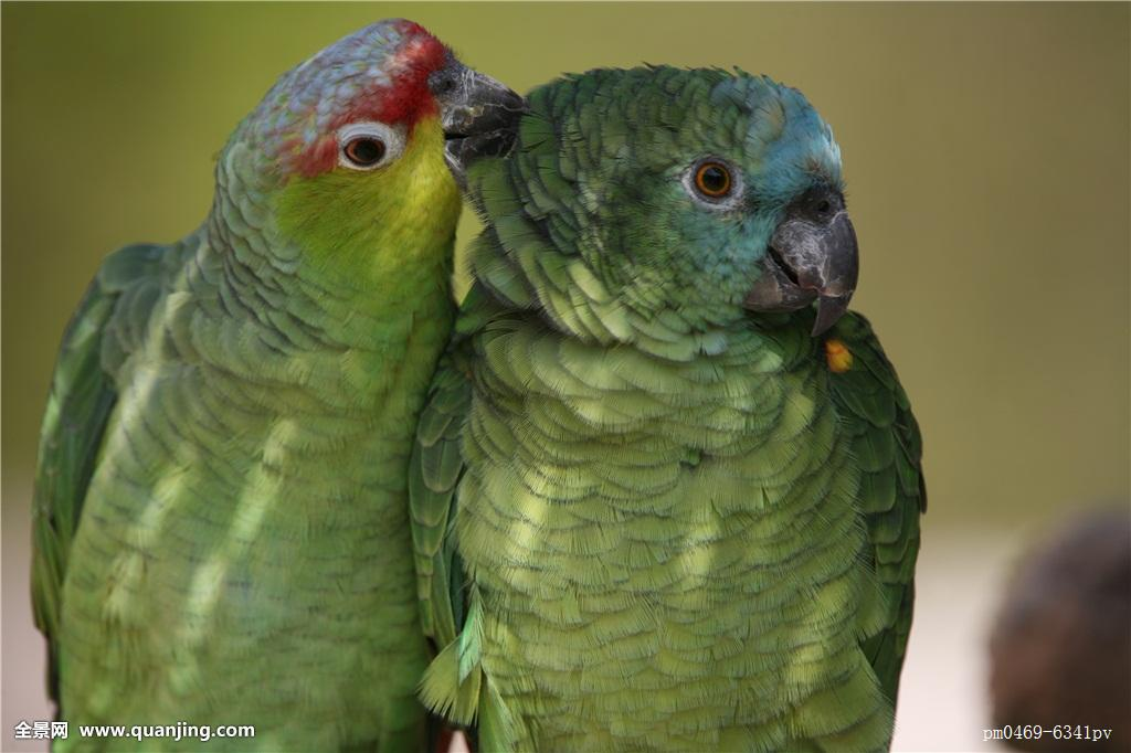 宠物鹦鹉怎么分公母图片