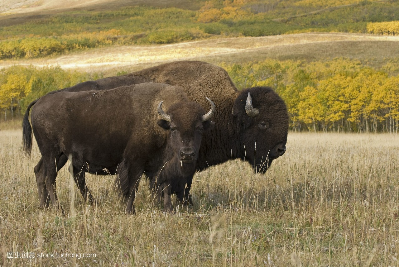 牧场,加拿大,目的地,水牛,加那丁河,加拿大的,目光,草,国家公园,旅行图片