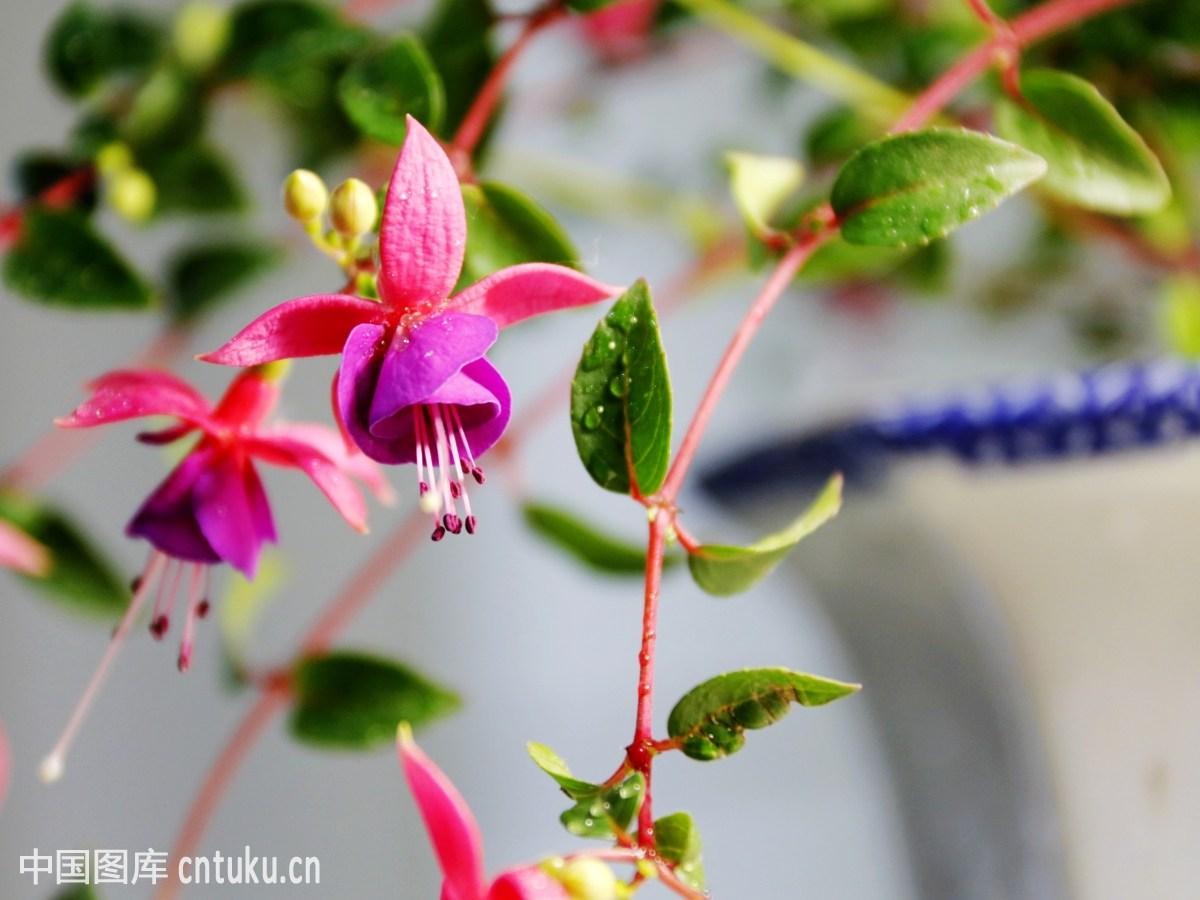 花卉类:室内棚拍倒挂金钟花  特写图片