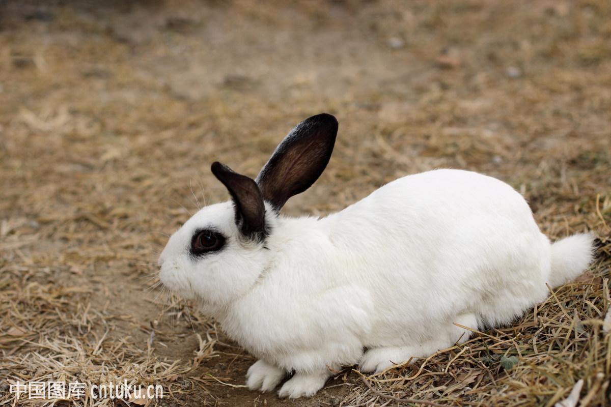 宠物多毛的饥饿兔子哺乳动物食草动物兔子畜兔子水雷鲨v宠物机械自然吃鲨鱼图片