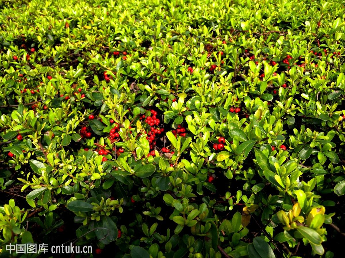 红豆树_植物类:红豆树