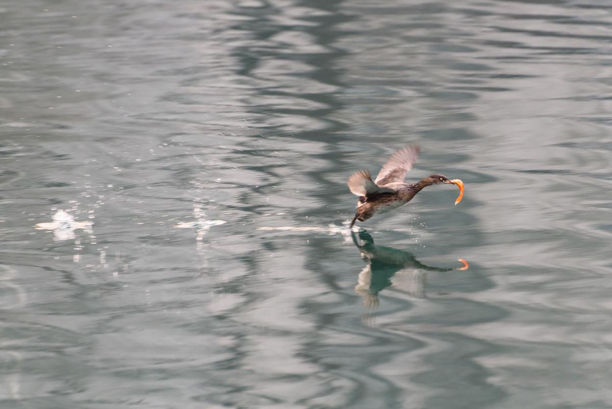 小捕鱼,水禽水鸟,凌波微步,水上漂,水面倒影,水花,自然生态环境,自图片