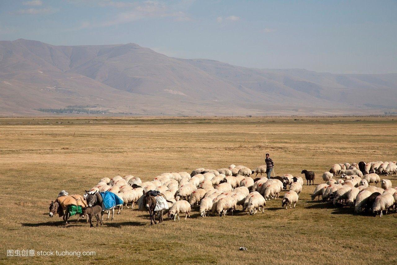 东,浅显,荒凉,群,孑立,平坦,传统,宏伟,兽群,安纳托利亚,牧羊人,干的图片