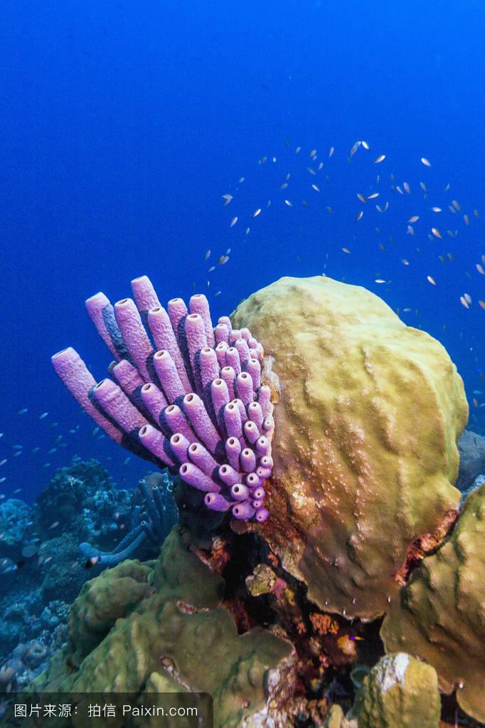 现代小�9a��am�il�..�i-9`�_阳光,珊瑚,管海棉,小安的列斯群岛,海绵,水,aplysina archeri,海洋