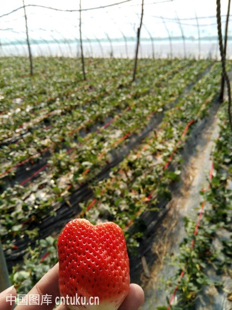 北京草莓采摘园大全_北京草莓采摘哪里好_草莓釆摘园