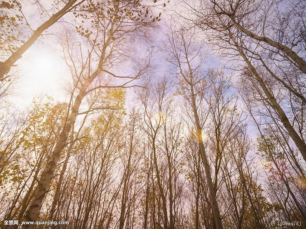 巨型高加索猎狼犬囹�a_桦树,桦属,约克郡,仰视