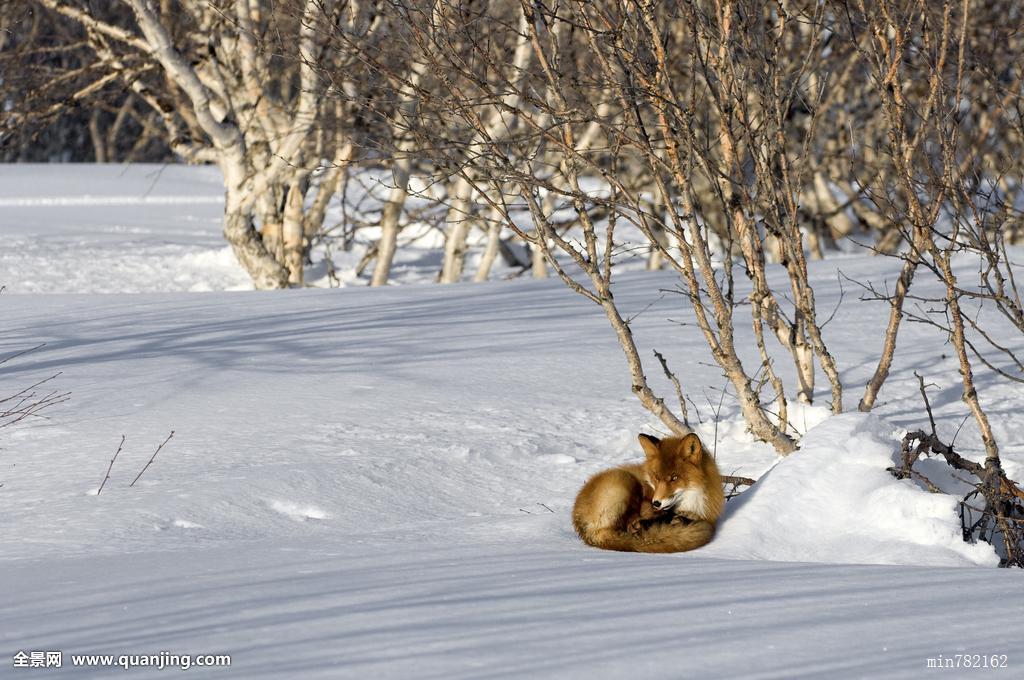 搜神记之斑狐_红狐,狐属,睡觉,堪察加半岛,俄罗斯