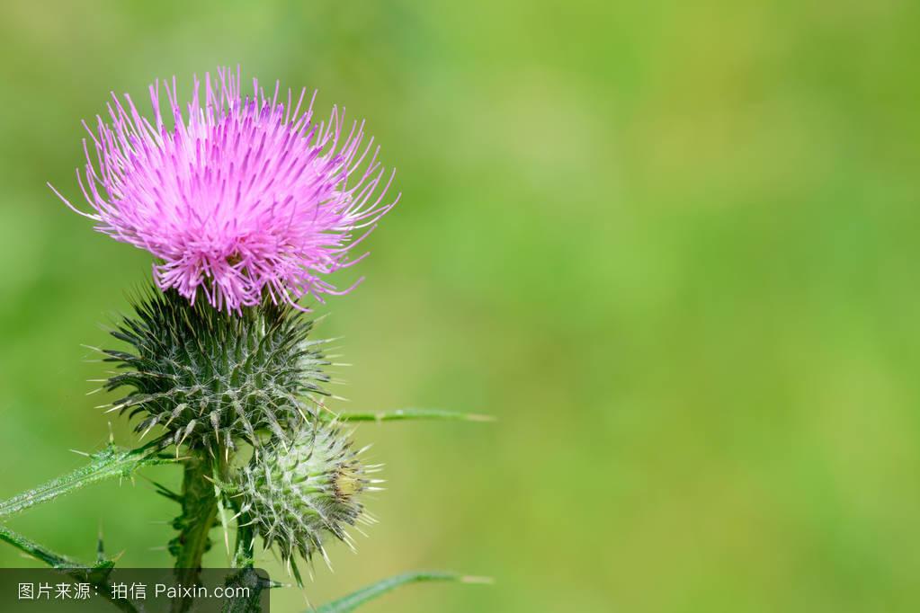 欧美色囹��9��9l!9`m�`m���9f�x�_穗,菊科植物,自然,圣徒,粉红色,宏,玛丽安,刺针,叶,头,刚毛,医学,可