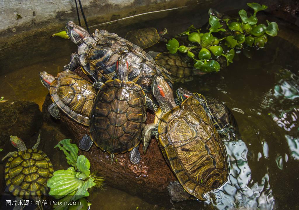 乌龟什么颜色好_大的,岛,绿色,海洋,老化,乌龟,壳,草,背景,有机体,对象,过程,颜色,海