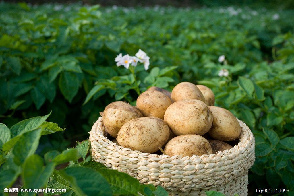 tudou_土豆,蔬菜,花,植物,叶子,白天,农业,农产品,篮子,农田,户外,成分,夏天