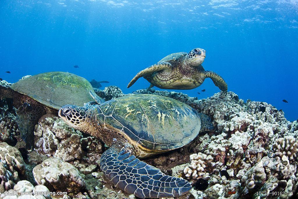夏威夷,绿海,海龟,龟类,海洋,礁石图片