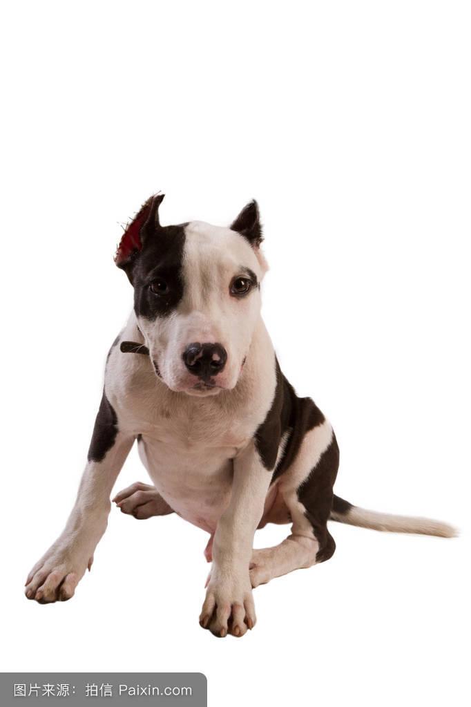 人在狗耳朵边说话套路-对着猪耳朵说话表情包-和狗狗图片