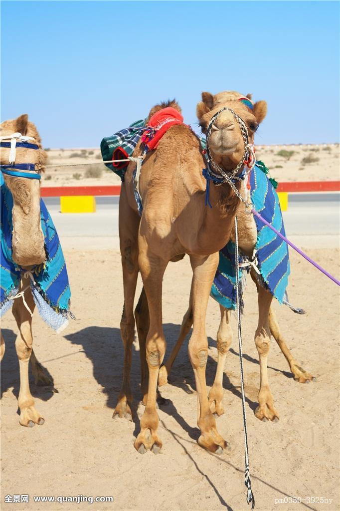 骆驼有几层眼睫�_机器人,控制,赛骆驼