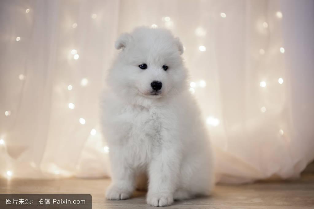 萨莫耶_bluebackground,美丽的,繁殖,犬,赫尔德,有趣的,bjelkier,萨摩耶