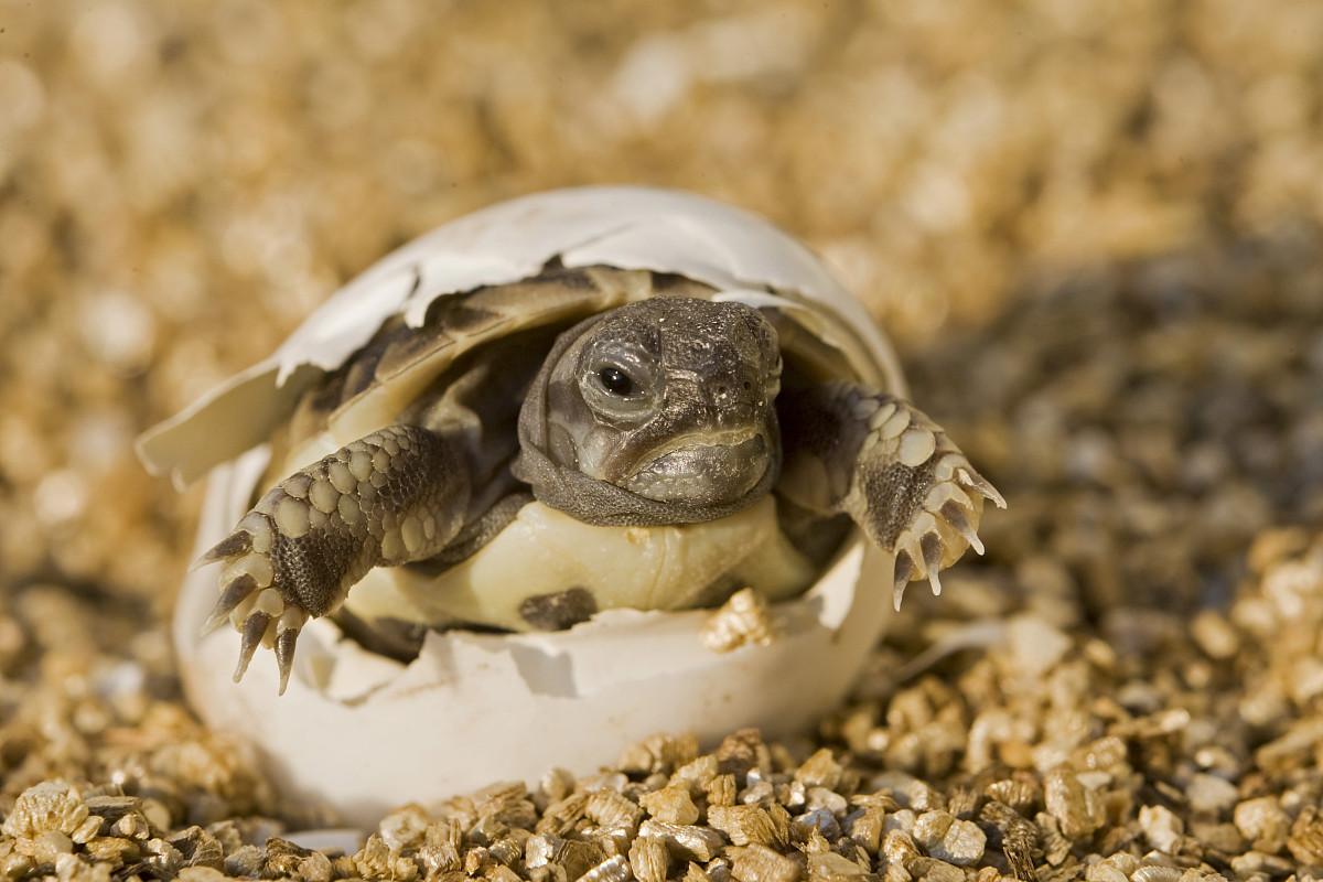 孵化乌龟蛋最好用什么沙