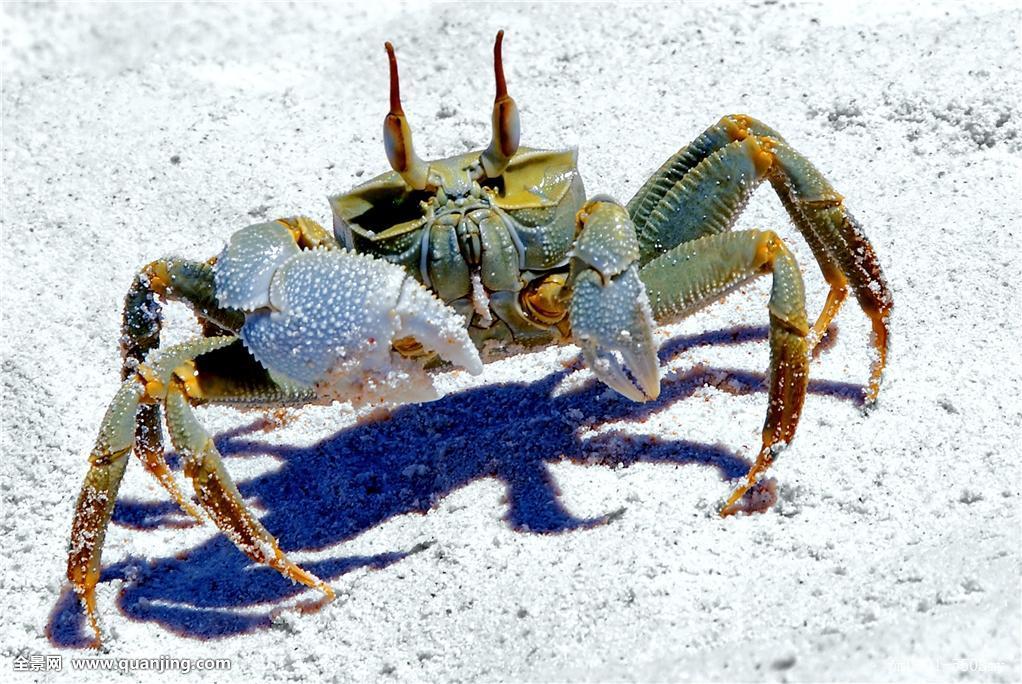 微距,特写,进入,爬行,好奇,海滩,海边,海岸,护甲,螃蟹,海洋动物,剪刀图片