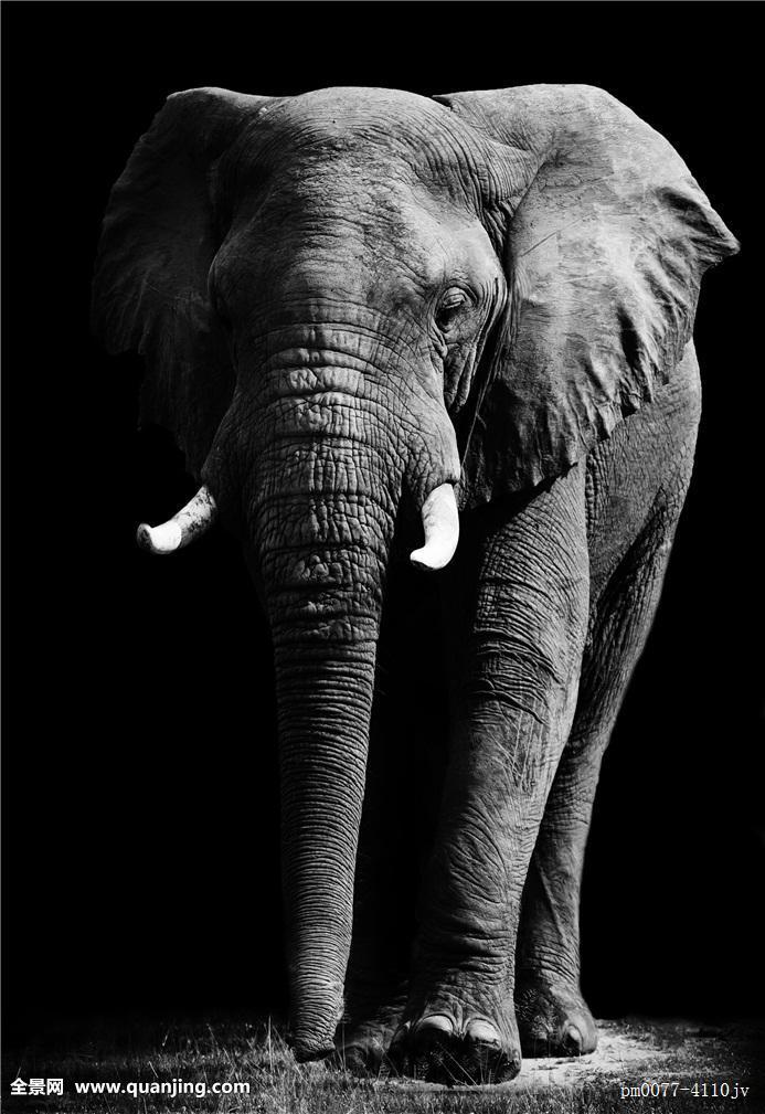 艺术,黑白,大象图片