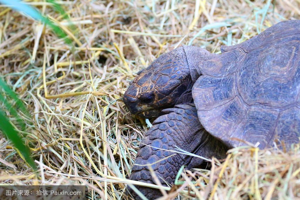 乌龟什么颜色好_泰语,大的,公园,绿色,缓慢的,乌龟,壳,草,野生的,背景,环境,土地,颜色