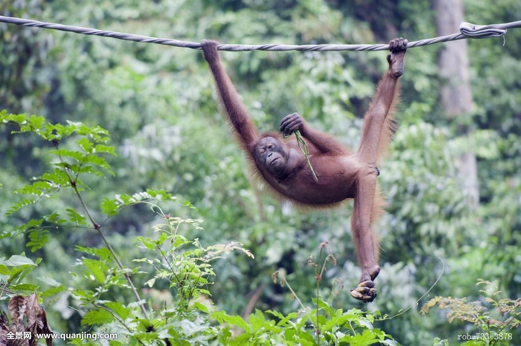 悬挂,绳索,侧面,钱,看镜头,婆罗洲,马来西亚,东南亚,亚洲,猩猩图片