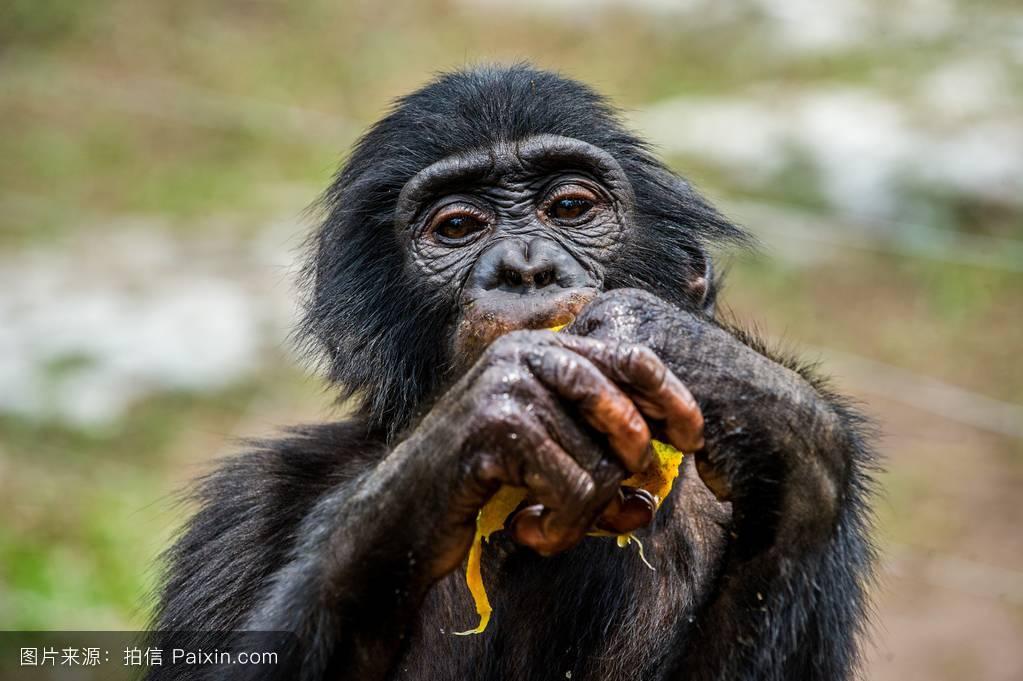 大黑鸡吧愺`/:)�h�_吃幼年倭黑猩猩