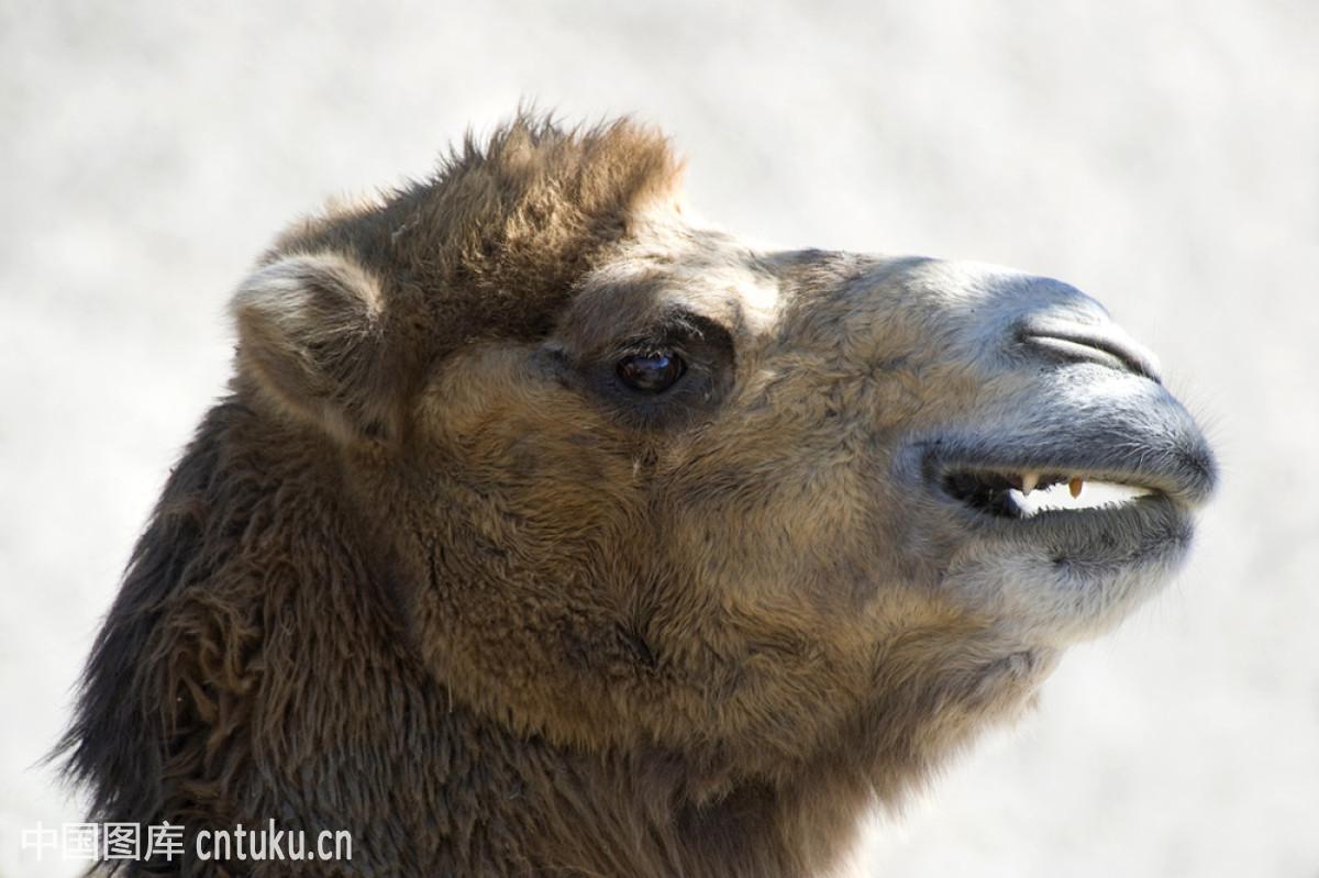 骆驼有几层眼睫�_骆驼